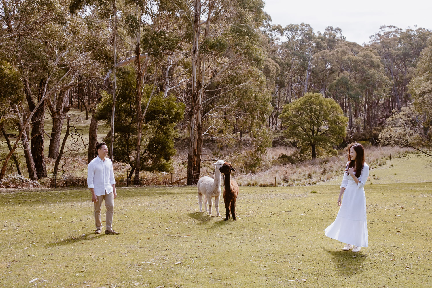 Engaged couple in casual outfits stand with a white alpaca and a brown alpaca in a green field (Multi-day Overseas Prewedding Adventure in Melbourne)
