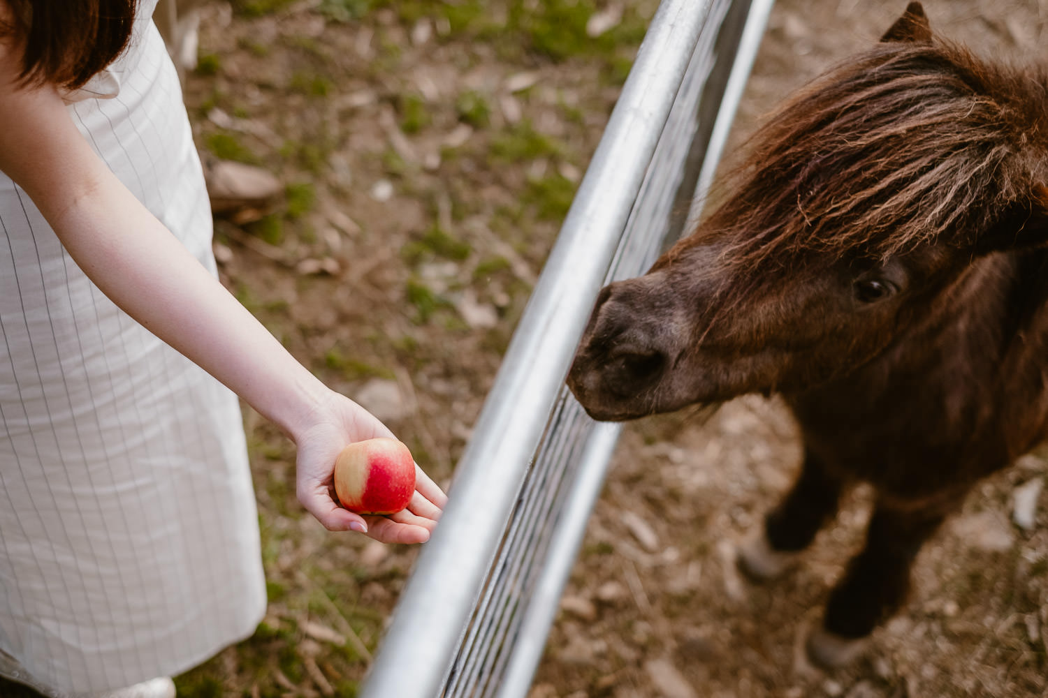 Girl feeding an apple to miniature horse (Multi-day Overseas Prewedding Adventure in Melbourne)