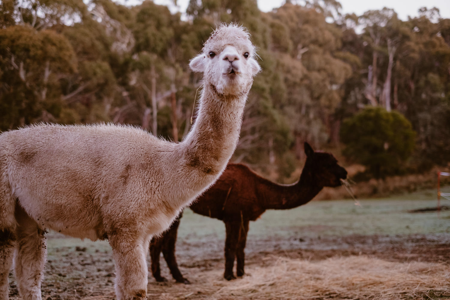A white alpaca and a brown chew on hay (Multi-day Overseas Prewedding Adventure in Melbourne)